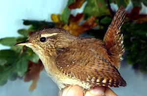 Oiseau en main troglodite mignon gaston gast for Oiseaux des jardins belgique
